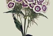botanical illustration . herbarium . plants . prints