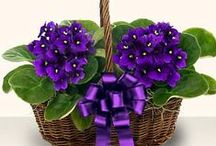 Garden:Violets,Violas & Pansies / Spring flowers indoor or out. African Violet, Violas, Pansies / by Lennie Barnes