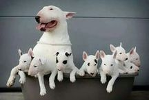 Bullterriers / The Most Beautiful