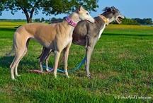 Greyhounds and Sighthounds