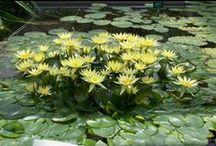 WATER LILIES & LOTUS DDS / Places to visit!