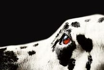 ! Dalmatian Dog Fine Art Prints by Jenny Rainbow ! / Wonderful Dalmatian breed, mostly photographed our beautiful dog called Kokkie.   All photography available as framed, acrylic, metallic, wood prints and canvas an also as art products. Order and payment online, delivery in 3-5 business days, 30 days money back guaranty. To start shopping just click on chosen pin. Enjoy! . #JennyRainbowFineArtPhotography