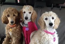 Oodles of Poodles / poodles are people too.... / by Judi O
