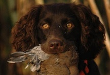 Sport Dogs / Duck dogs, Water dogs, Hunters, Hounds, Rescue, birddogs and more! / by Ziggy & Zephyr Brother Puppies!