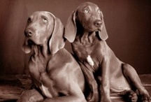 Weimaraners / by Ziggy & Zephyr Brother Puppies!