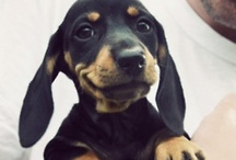 Dachshunds / by Ziggy & Zephyr Brother Puppies!