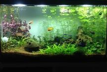 Acuario / Aquascaping, acuariofilia, peces de agua dulce,