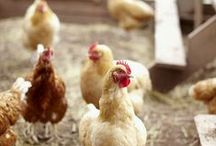 Fresh Eggs / Owner of chickens. Fresh eggs. How to take care of chickens. Chickens as pets, backyard farm, raising chickens,