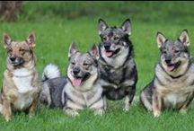 Swedish vallhunds - Västgötaspets / More about swedish vallhunds. Do you want collectthese pins whit me? Please, leave a comment.