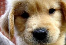 Golden retrievers - great family pets / Golden retriever, golden retriever puppies, #goldenretriever