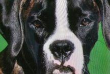 Boxer dog Herr schmidt