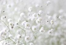 Graceful Gypsophila / Gypsophila, also known as baby's breath, has bunches of intricate branches decorated with lots of tiny florets.