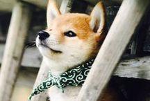 Dog / SHIBA / Dog, Shiba, Shibainu, Shiba dog, 柴犬