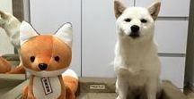 Pet ● Dog ● KURUKI / japanese dog, Siba inu.  Her name is KURUKI ! if u know more info,,,,please kindly access this page https://www.facebook.com/japankuruki