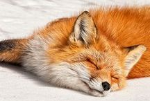 <3 Lovely Foxes <3 / I love this beautiful animals.