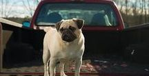 Pretty Pug Pics / Pretty pug pics is a cute lovely place to find sweet pics of pugs. Prettypugpics.com