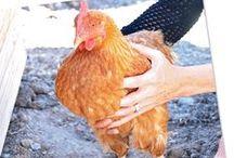 Chicken Lickens