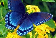 motyle-butterflies