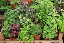Herbs / Herb plants look lovely in your garden, or on your balcony. Add them to food, make syrups to add to cocktails and healthy herbal teas.