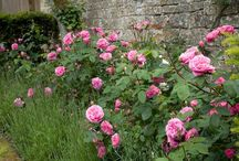Roses / beautiful roses, who can resist them...