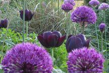 Bulbs / Beautiful bulbs for gardens & containers