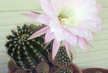 Cactus e succulente / Www.balconefiorito.net