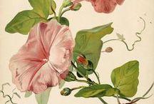 Fleurs anciennes ... Vintage flowers