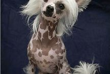 CHINESE CRESTED..