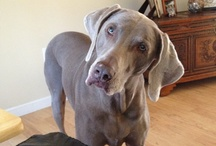 weimaraner i just want more