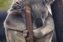 Koala / En sevdiğim hayvan :) Şirinlik abidesidir :)