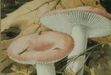 #Verkade album #Paddenstoelen / afbeeldingen van de originele aquarellen van de #Verkade albumplaatjes #Paddenstoelen