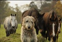 .irish wolfhound / .a dog of my dreams