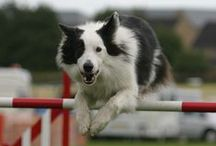 Agility / agility dogs in action