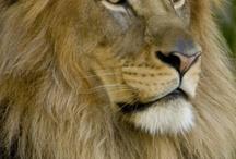 """felinos / la estructura familiar de los felinos, su manejo de la dominancia/sumision y la eficacia de su estrategia en la caza, avala la creencia popular que otorgamos a los felinos, situandolos como """"reyes de los animales"""". / by vicente gonzalez"""