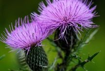 Thistle / by Nelda Newman