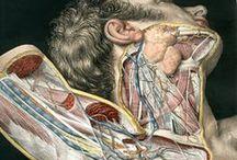 Anatomy art support / Human and Animal anatomy.