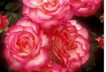 rosas / by Elisabete DE  Oliveira