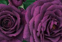 Morado - Rosa - Magenta / Colores