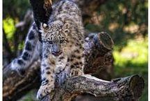 Snow Leopard / Cuties