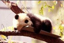 Pandapandapanda!!