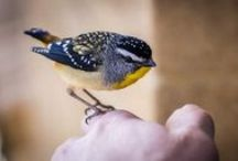 Spotted pardalote : cuteness overall