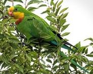 Superb Parrots / The Superb Parrot is an Australian bird, found in a relatively small area of south-eastern Australia.  It is also known as Barraband's Parrot, Barraband's Parakeet, or the Green Leek Parrot.