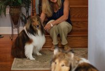 """Shelties and Dogs of all breeds / Shetland Sheepdogs  I absolutely adore all dogs and especially Shetland Sheepdogs aka """"Shelties""""."""