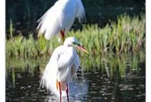 Australian Wading Birds / All photos  taken inland on  freshwater lakes, dams, creeks and ponds.