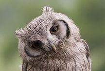 owls Eulen / Owls, Eulen - pictures, pattern - Fotografien und Bastelanleitungen zum Thema Eule (Uhus, Kauz, Käuze ...)
