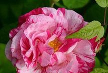 Flowers / Blommor