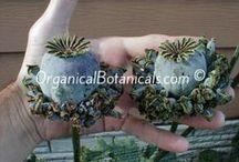 Poppies / Somniferum Poppy seeds