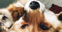 Лисы/Foxes
