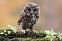 Baglyok/Owls