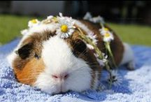 cute cavies / those eyes! those rose-petal ears! that FACE. so much cute in one little wuzzy package.